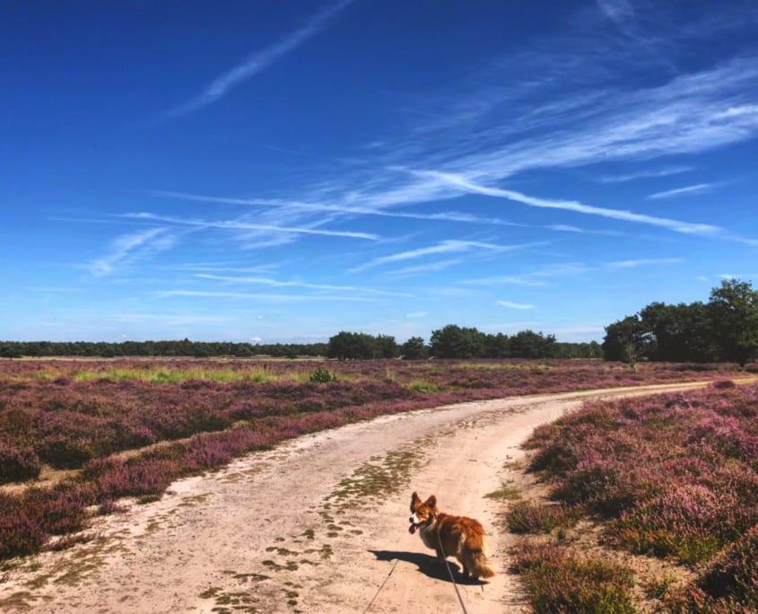 Eind augustus is een mooi moment voor een hondenwandeling als de hei in bloei staat!