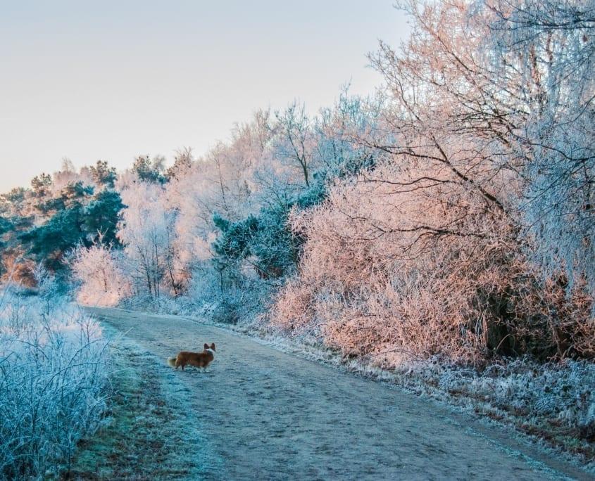 Bommel vermaakt zich ook tijdens een winterse hondenwandeling op de Regte Heide