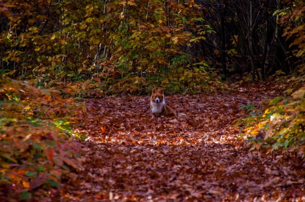Een hondenwandeling in de herfst heeft als extra voordeel dat je hondje in iedere mogelijke bladerberg kan duiken!