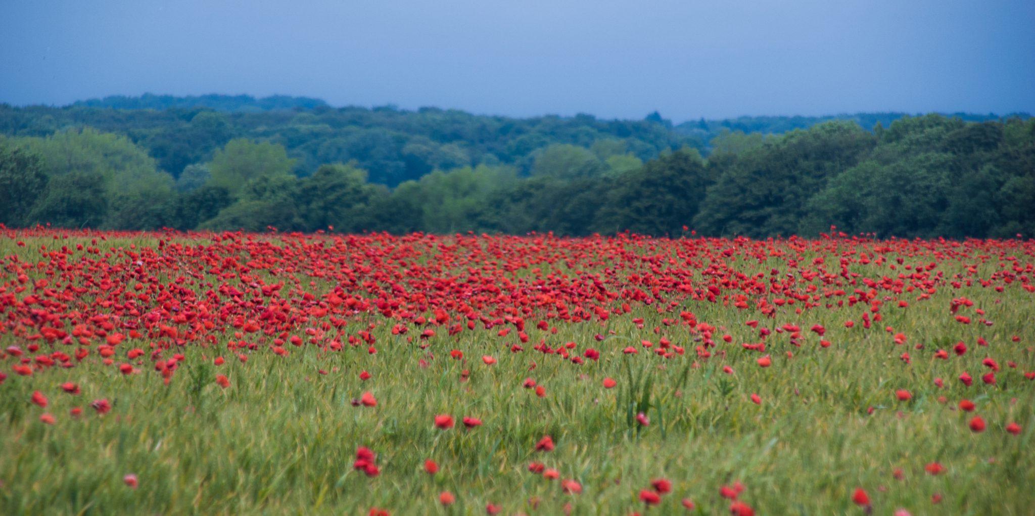 De Somme staat vol met klaprozen (poppies); het symbool voor de gesneuvelden van de Eerste Wereldoorlog.