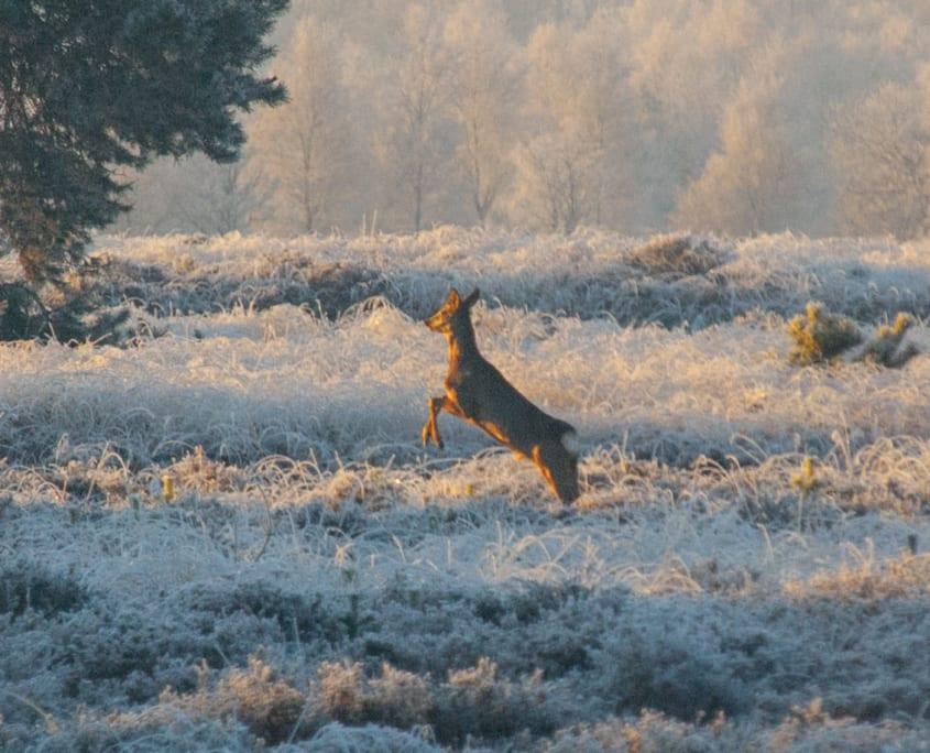 Extra wandeltip: zet je wekker in de wintermaanden een keer en ga extra vroeg de Regte Heide op. Misschien kom je nog wat extra local wildlife tegen.