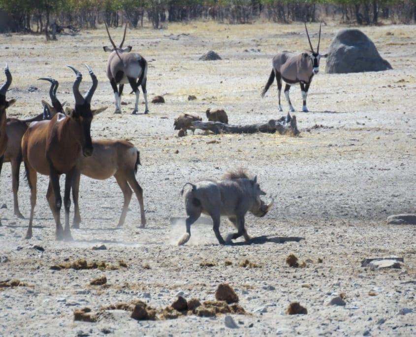 Rode hartebeesten, wrattenzwijn en oryxen