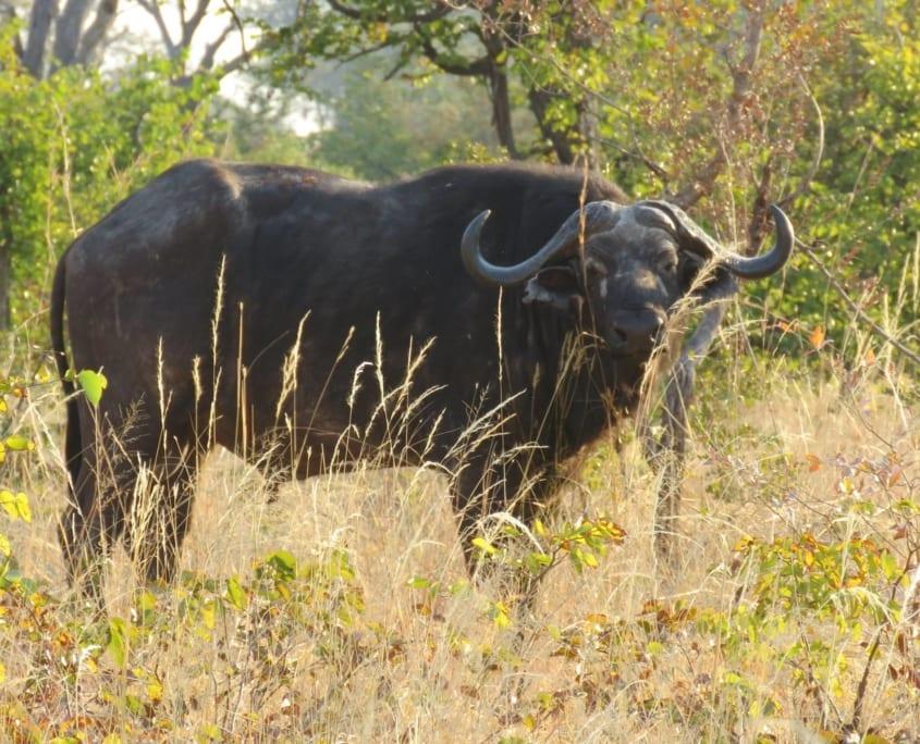Kaapse buffel