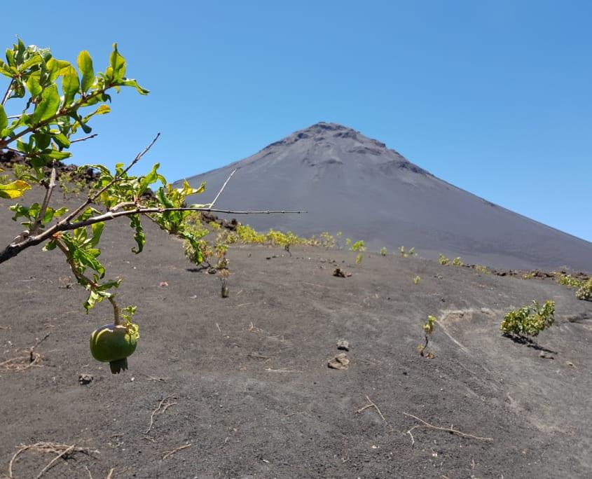 Fruitbomen in Chã das Caldeiras op Fogo