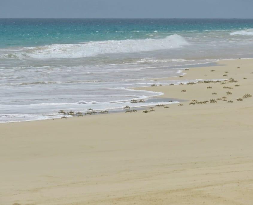 Spookkrabben op Praia de Santa Mónica