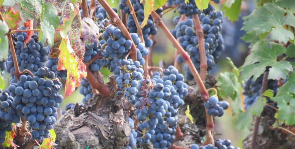 Chianti druiven