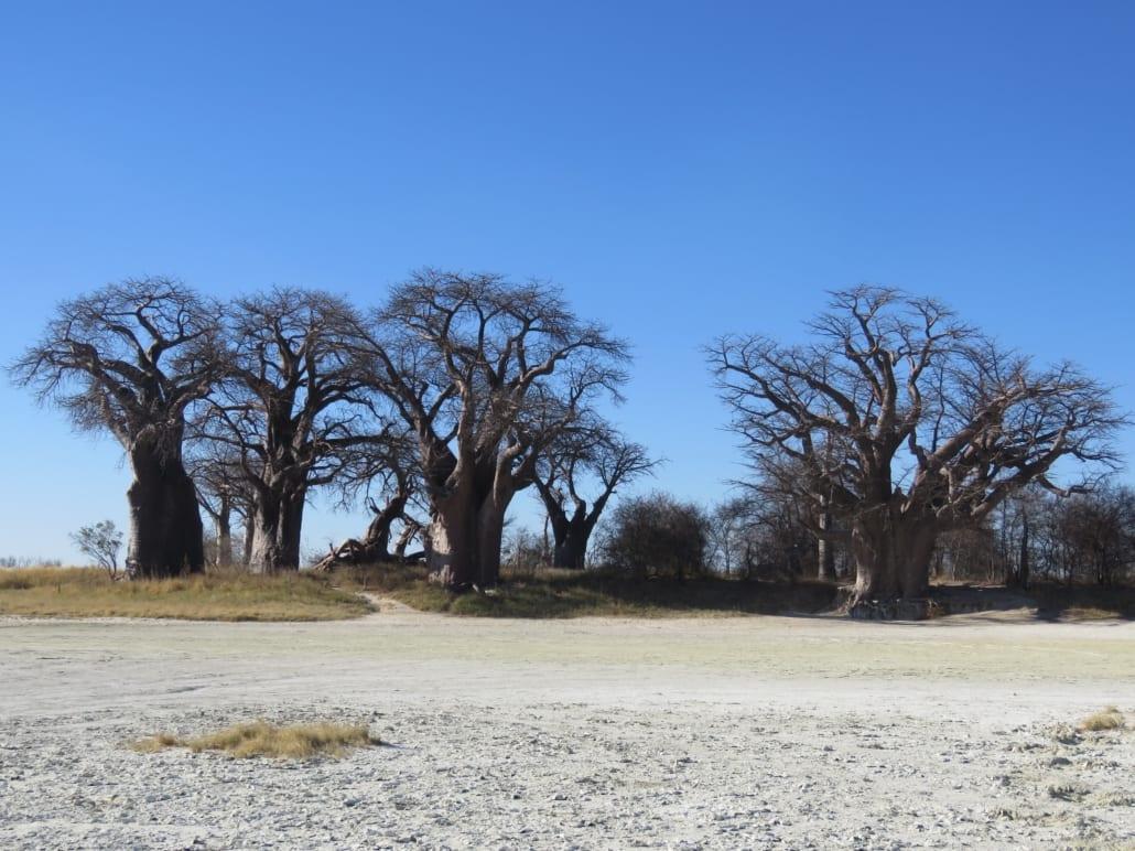 Baines' Baobabs in Botswana