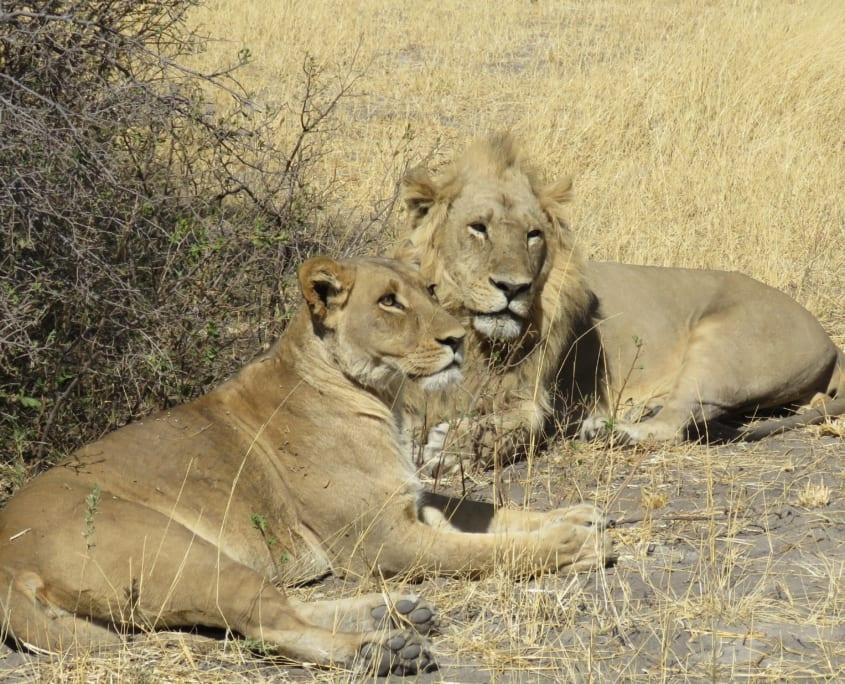 Leeuwenpaartje