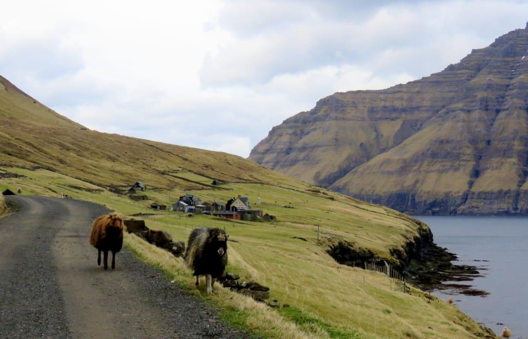 Wandelende schaapjes op de weg