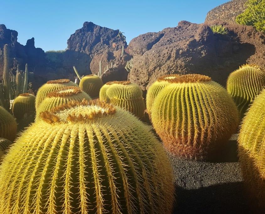 'Schoonmoederskussens' in de Jardin de Cactus op Lanzarote