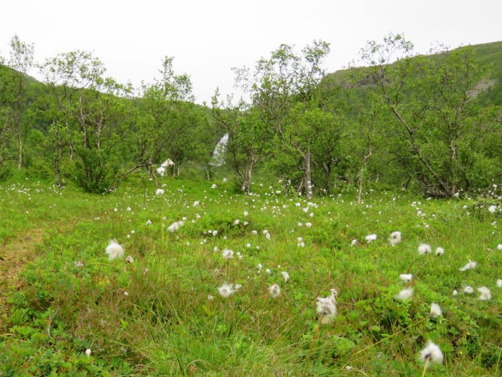 Fluffy katoengras op Senja