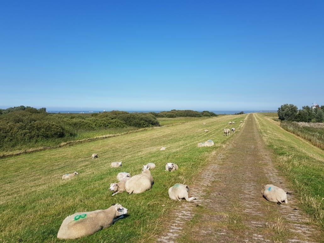 Schaapjes op de Zuiderzeedijk in Friesland
